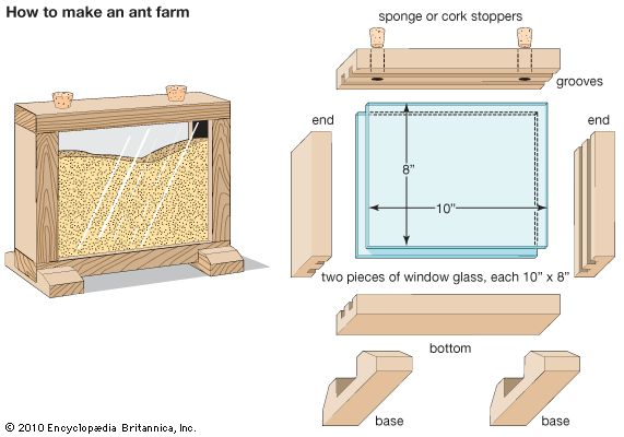 Art:A simple ant farm can be made from two pieces of glass fitted into four sections of grooved wood and set on a wooden base. Fill the asse...