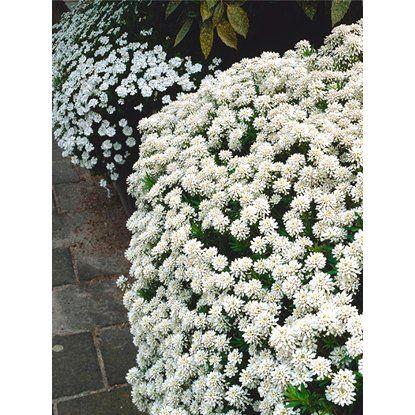 Iberka vždyzelená priemer kvetináča cca 13cm biela