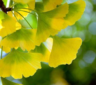 ginkgo_leaves_yellow.jpg 330×293 pixels