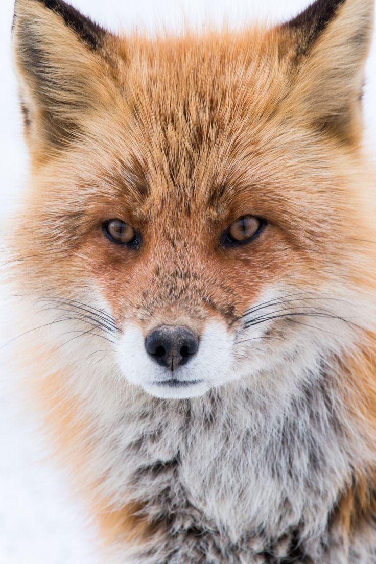 Superbe renard roux <3 ***