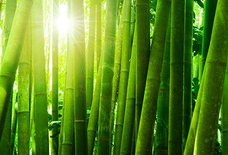Per ottenere i migliori risultati dalla coltivazione di bambù occorre solamente irrigare e concimare le piante. I fabbisogni idrici sono simili a quelli del mais con dei picchi di maggiore necessità nel periodo siccitoso (primaverile-estivo).  Le concimazioni devono essere effettuate due volte l'anno nei periodi di massimo fabbisogno. Non sono necessari interventi con erbicidi e/o pesticidi. Di norma l'intera gestione di un bambuseto a scopi produttivi-intensivi non richiede oltre le 70-80…