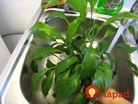 Táto rastlinka dokáže prežiť aj v sťažených svetelných podmienkach a zvládne aj to, keď ju sem-tam zabudnete zaliať. Za minimálnu starostlivosť vám však toho dá skutočne veľa.