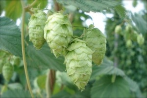 Hops are beautiful. I don't drink beer, but I'd still love to grow them. And you can eat the shoots!