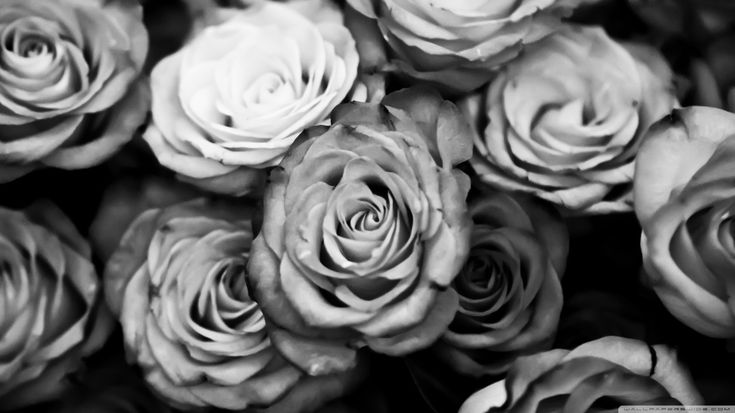 Black And White Rose Wallpaper Hd Background 9 HD