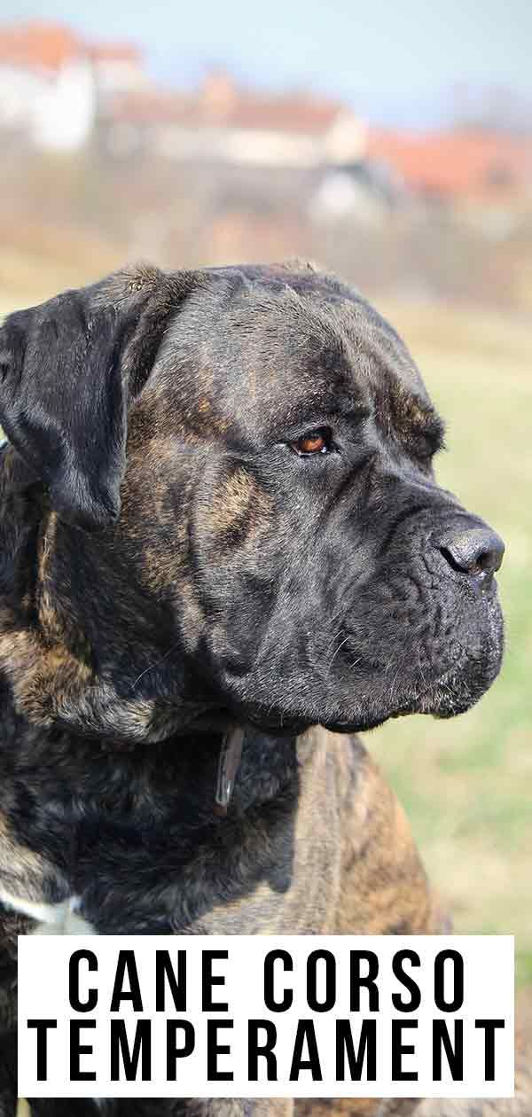 Cane Corso Temperament Is This Dog Right For Your Family Cane Corso Temperament Cane Corso Cane Corso Dog