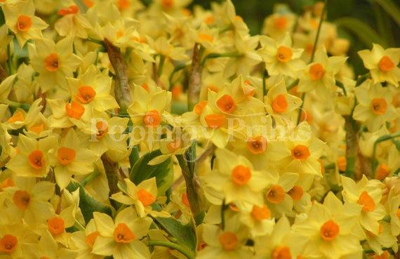 Daffodils by PopinjayPrints on Etsy, $17.00