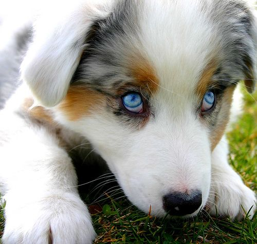 Australian Shepherd Puppy..would love to hook up our Black Tri one blue eye up with this to have puppies. How cute would they be.