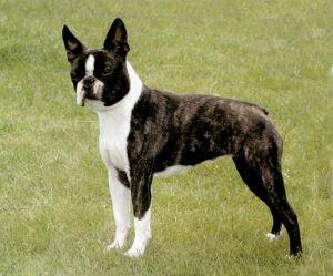 anjing Boston Terrier