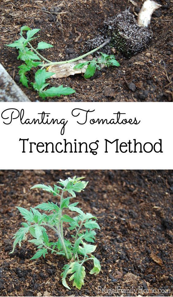 New to gardening? Do you need to know how to plant tomatoes in your garden? Don't plant tomatoes in your summer garden until you learn my two secret ingredients on how to grow your tomatoes!