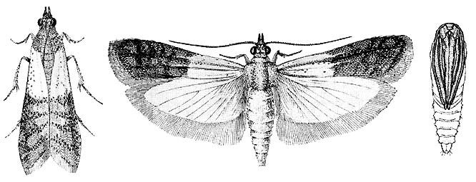 drawings of adult indian meal moth and pupa