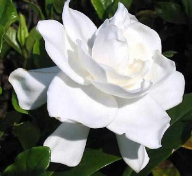 Las rosas mas bellas buscar con google gifs de flores - Rosas rosas hermosas ...