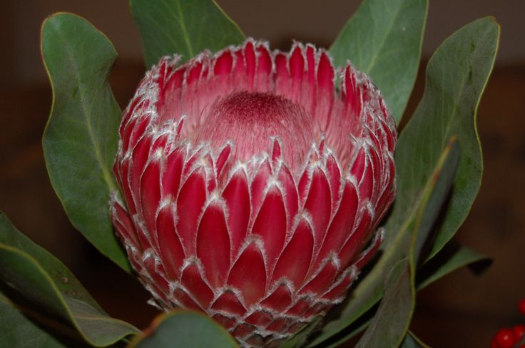 Protea, Protea spp., Proteaceae Proteafamilien, SNITT