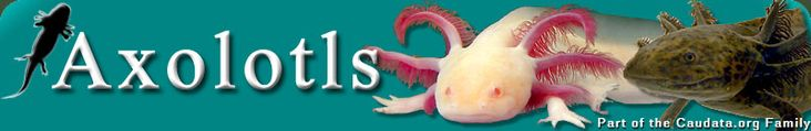 Axolotls - Requirements & Water Conditions in Captivity
