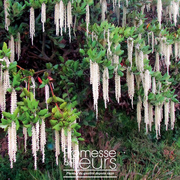Les 25 meilleures id es de la cat gorie arbuste en pot sur pinterest plantes feuillage - Arbuste japonais fleur jaune ...