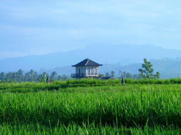 Rice fields,  Medewi, Bali, Indonesia.