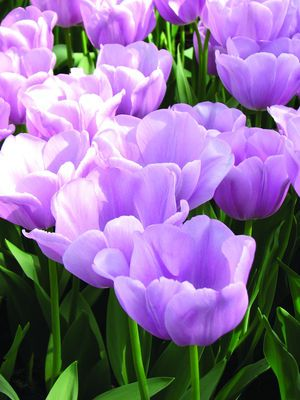 """Alibi - a perfect tulip for many garden design applications with its soft pinkish/lavender color; will be a smash in bouquets and arrangements as well; 14""""-16""""."""