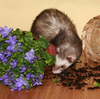 how to find a ferret