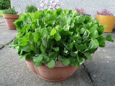 Growing pea shoots from old dried peas you can buy at the supermarket
