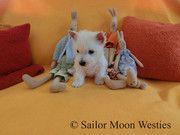 Westie Welpen vom seriösen Züchter kaufen - Westhighland Terrier Zucht