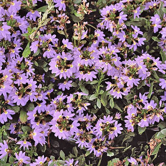 Scaevola get detailed growing information on this plant for Garden plant information