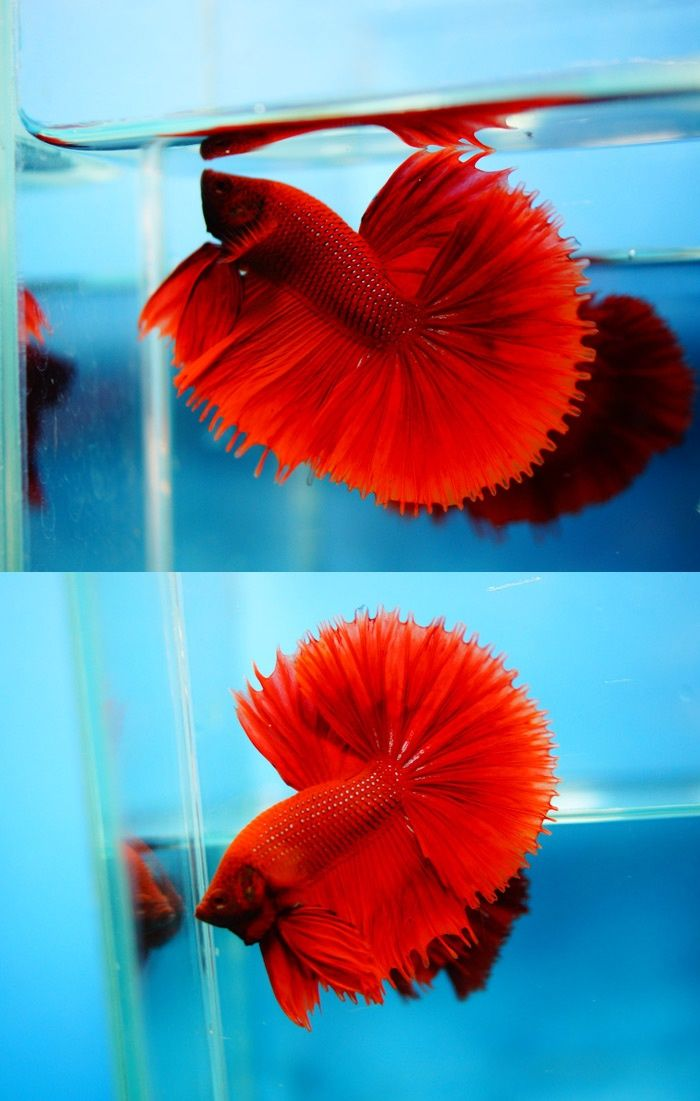 Dark red betta fish - photo#37