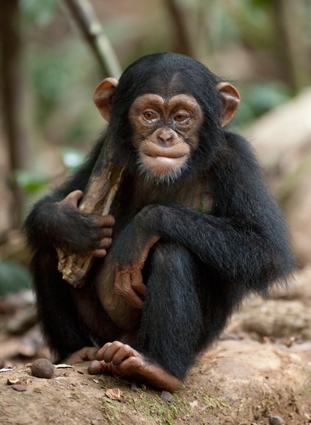 Chimpanzees, they're so cute :D