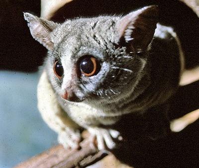 Galago senegalensis, Photographer: Robertsphotos1, http://eol.org/data_objects/2075510