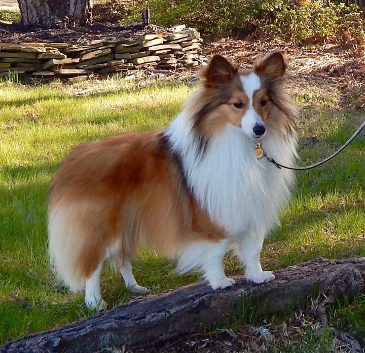 Available Mini Toy Akc Sheltie Shetland Sheepdog Puppies