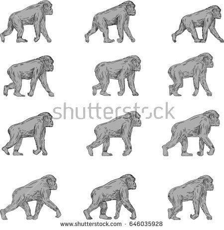 Collection set of illustrations of a chimpanzee walking viewed from the side set on isolated white background done in drawing sketch style.   #gorilla #sketch #illustration