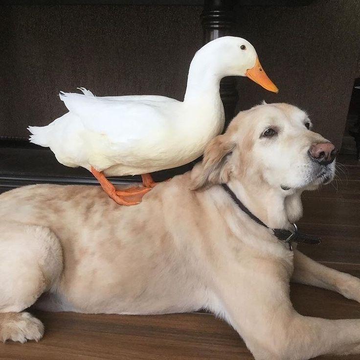Картинки гусь и собака
