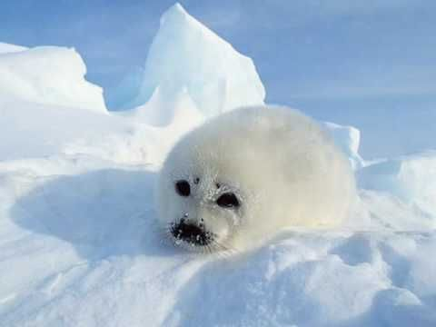 Arctic Animals (YouTube)  Photos/Instrumental Music