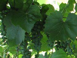Viiniköynnökset avomaalla