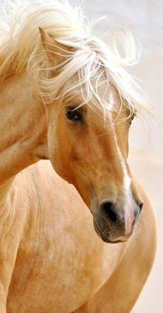 Palamino...gorgeous horse.