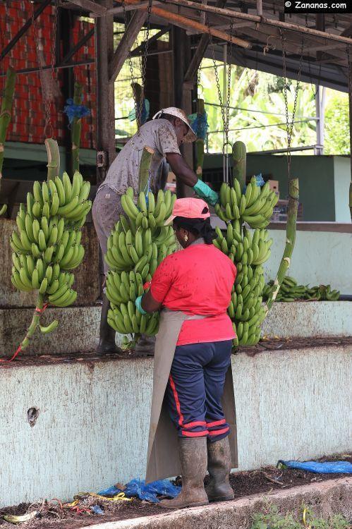Dans la campagne martiniquaise, le Musée de la Banane présente sur un agréable parcours une grande variété de bananes venues du monde entier.