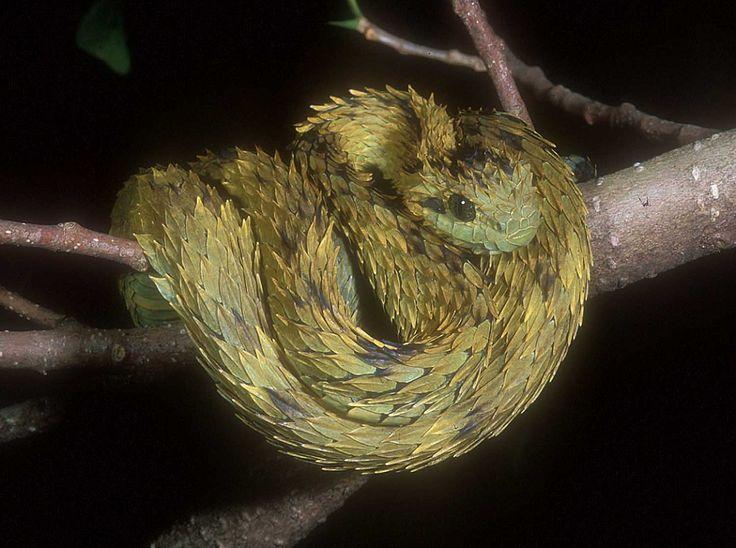 Hairy bush viper. Atheris hispidus .