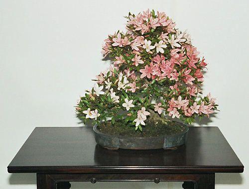 RP:  Rhododendron Simsii - Azalea Indica