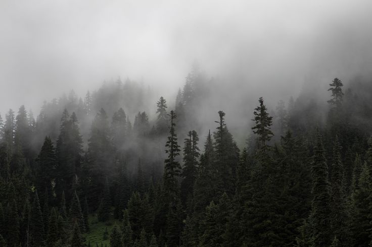 Dense mist descending on an evergreen forest