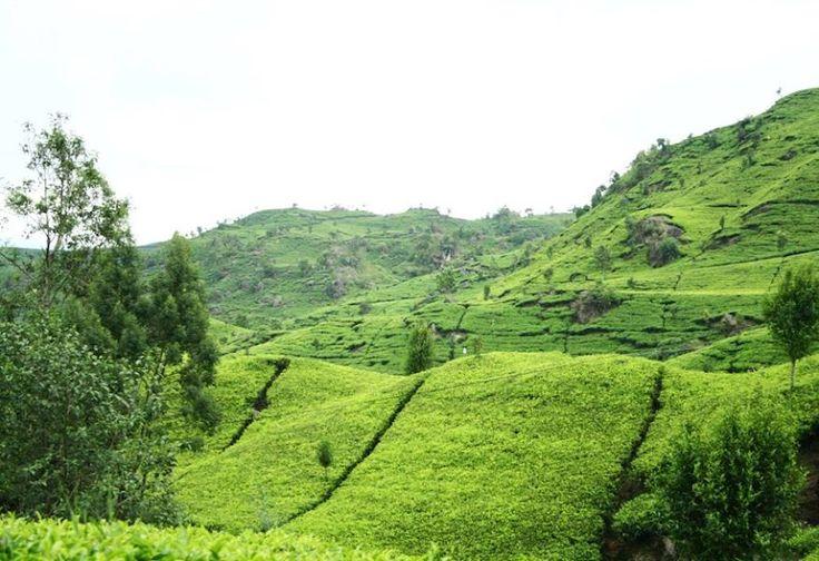 Green 'Carpet' at Agro Gunung Mas Bogor
