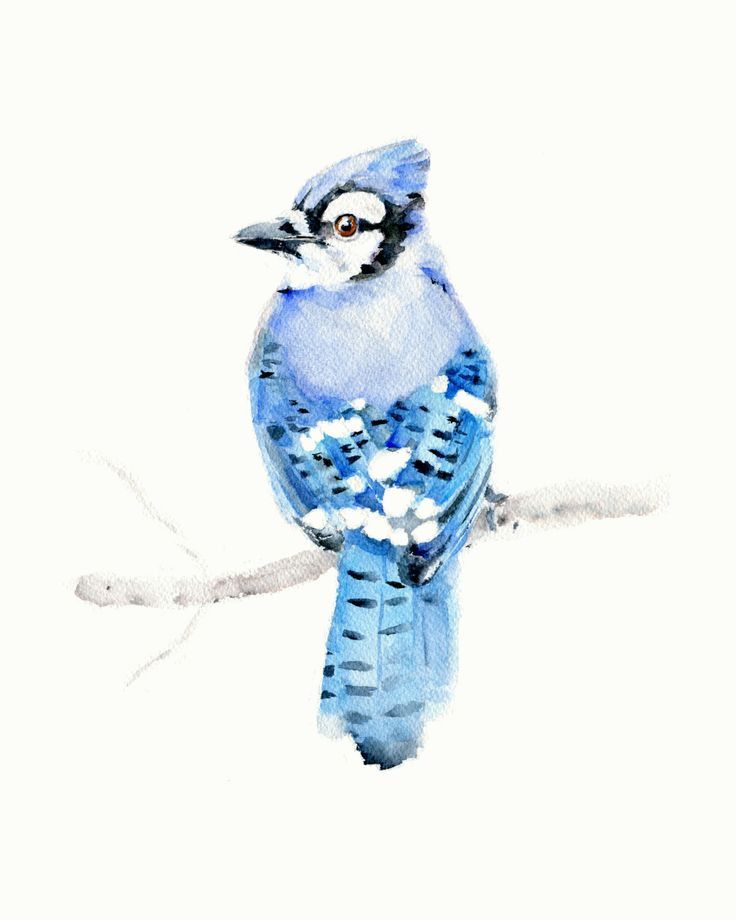 Blue Jay Watercolor Print by Marysflowergarden