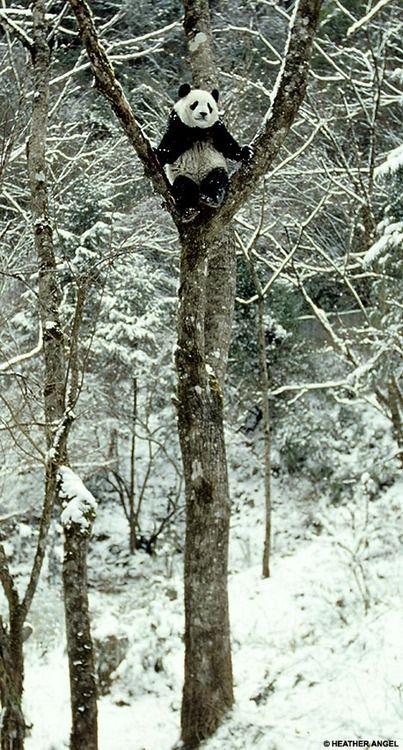 Panda playtime as giant bears enjoy a snowy winter wonderland by Heather Angel