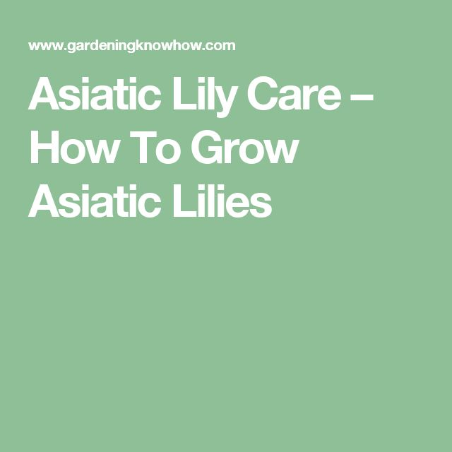 Asiatic Lily Care – How To Grow Asiatic Lilies