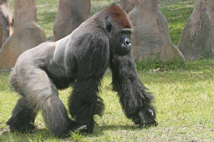 Gorille. Dos argente