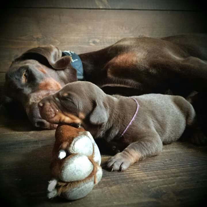 Doberman with puppy