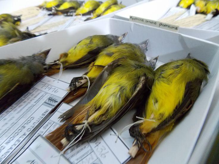 Colección ornitológica Instituto Humboldt