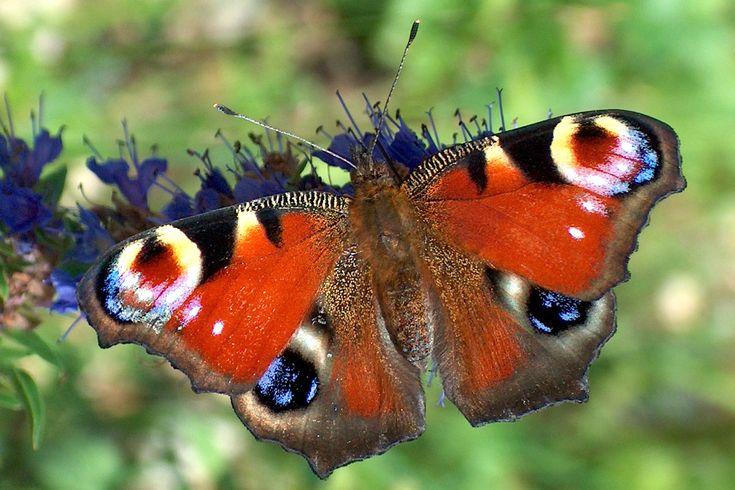 SCHMETTERLING   BUND: Schmetterling des Jahres 2009: Tagpfauenauge
