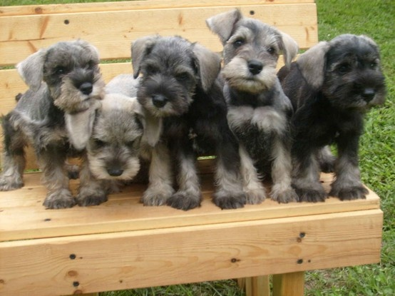 Miniature schnauzer puppy with her spaniel surrogate mum!   ...........click here to find out more     http://googydog.com