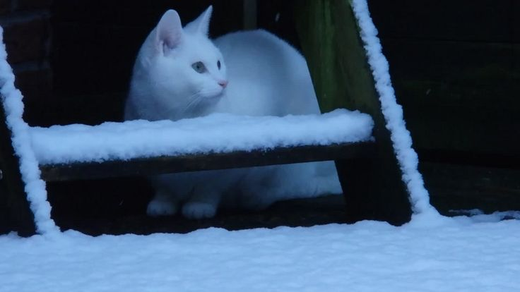 https://flic.kr/p/Da1BQ3 | Ziggy our white cat (9 monthts) for the first time in snow