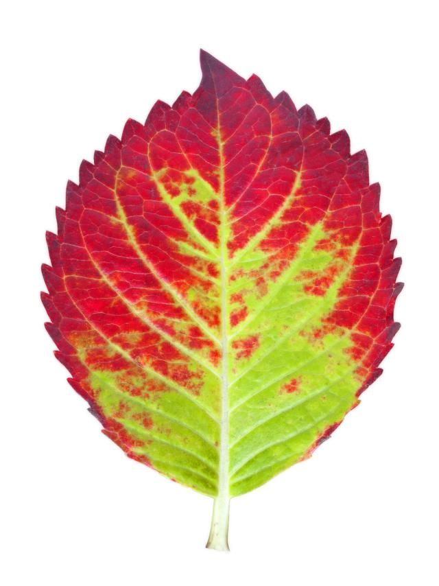 Separate the Colors from Leaves Using Chromatography: You can separate the pigments in colored leaves using chromatography. Try comparing the pigments in different colored leaves or leaves of the same plant collected at different times of the year.