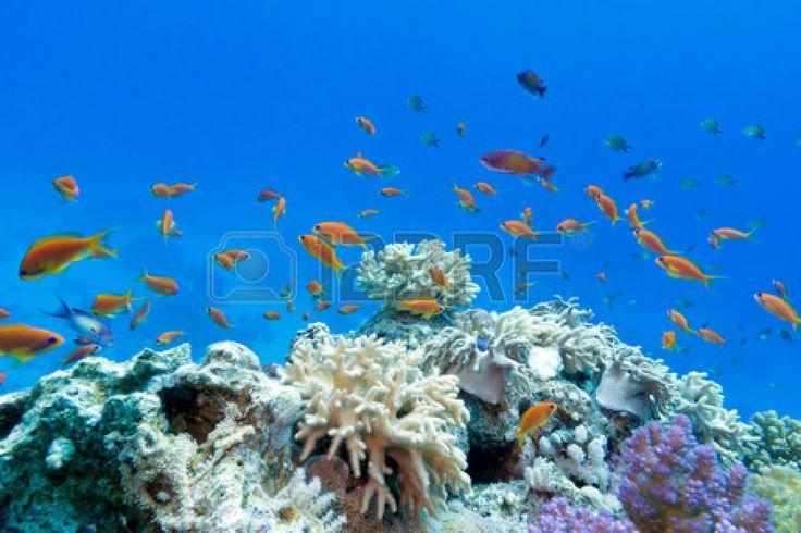 Arrecife de coral con corales blandos y duros con peces exoticos anthias en el fondo del mar tropical en el fondo de agua azul foto
