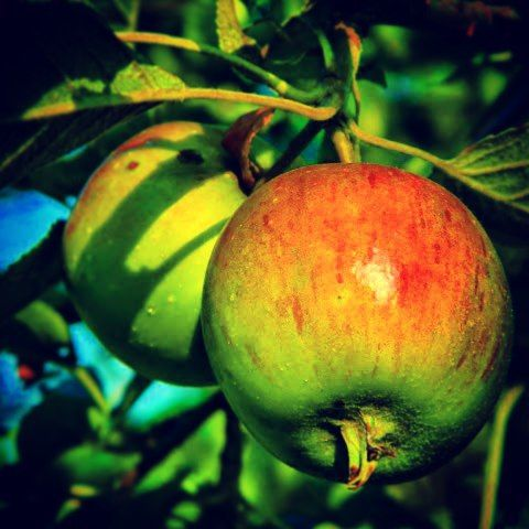 Yummy apples growing on the farm #beautiful #organic #life #lifesbeautiful #lifesbeauty #pretty #prettyplants #prettyplant #natural #zoomin #zoom #closeup #closeups #potrait #apple #apples #appletree #naturelovers #nature #naturesbeautiful #naturesbeauty #yum #yummy #tasty #fruit #fruits